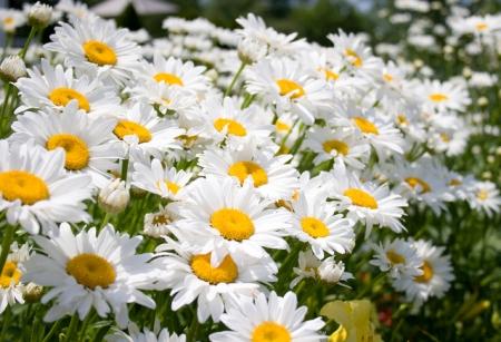daisies-1393484-639x436