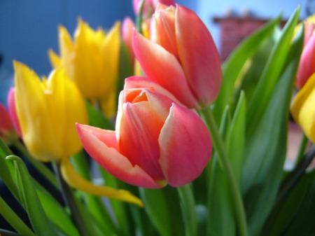 tulip-1-1532945