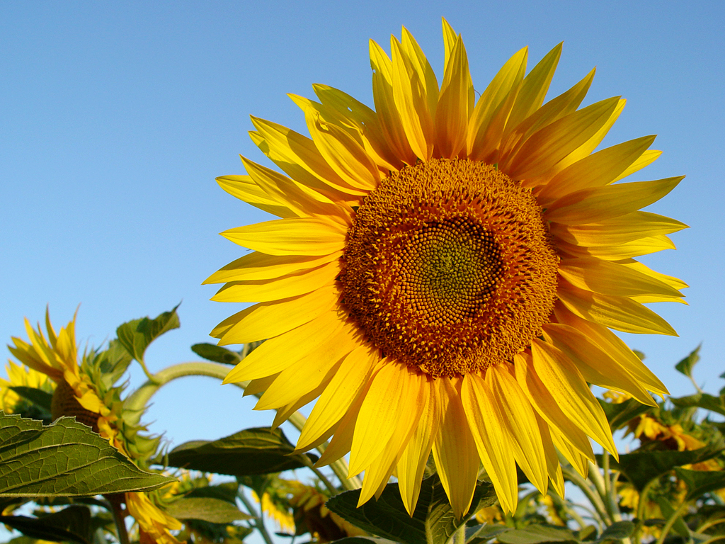 sunflower-2-1551036