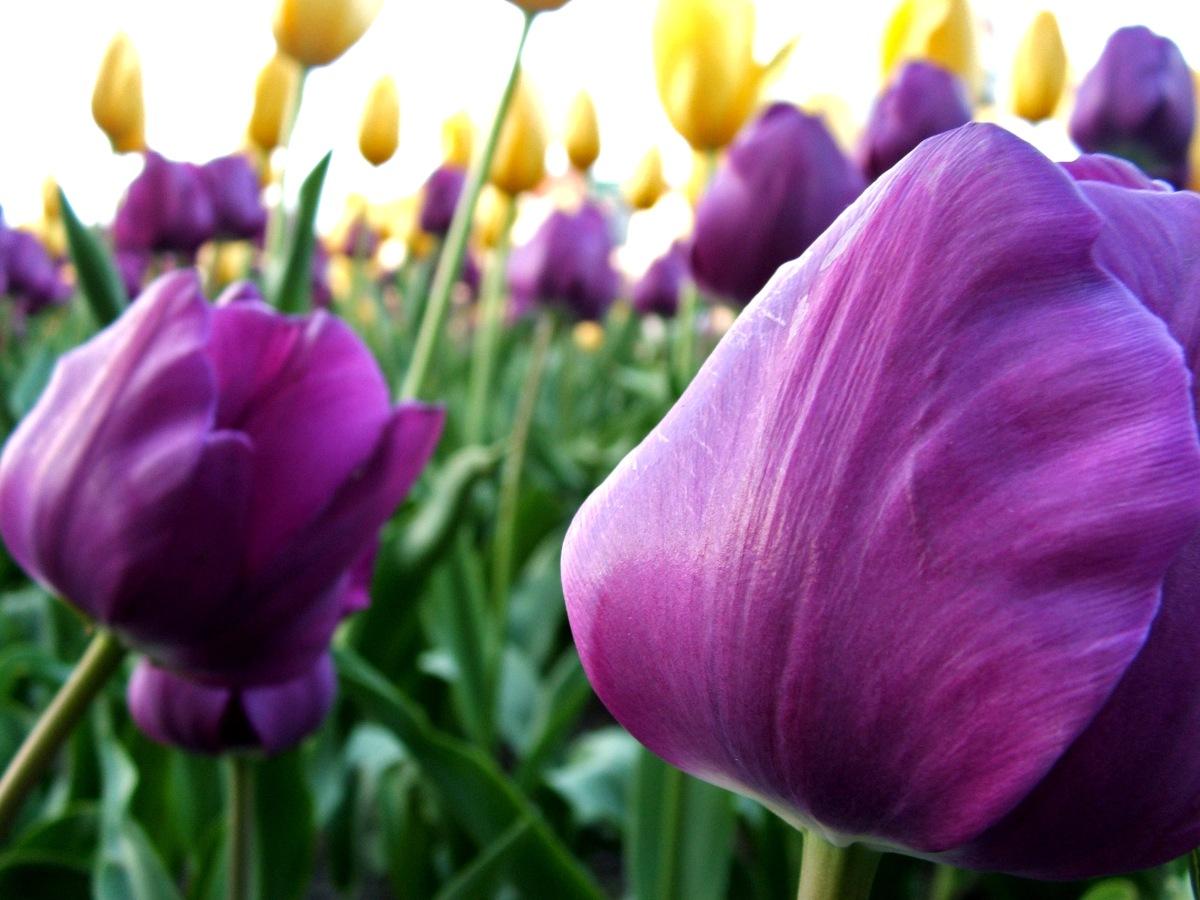 tulip-1179389