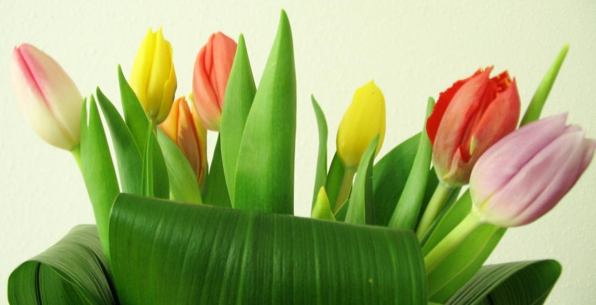 tulip-1514555